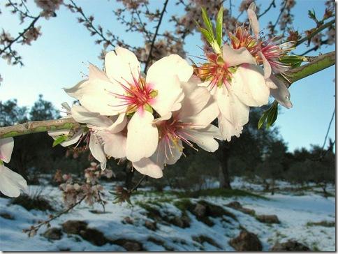 almond_snow_ester_inbar